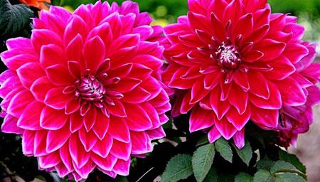 桑拿天也给您笑脸的花卉-大丽花