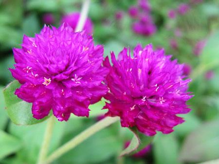 桑拿天也给您笑脸的花卉-千日红
